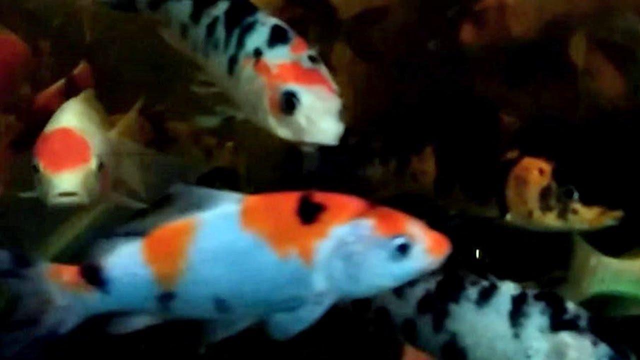 Beautiful Koi Fish From Aquarium At Jakarta