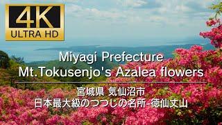 Miyagi Prefecture Mt,Tokusenjo's Azalea flowers 日本最大級のつづじの名所-徳仙丈山