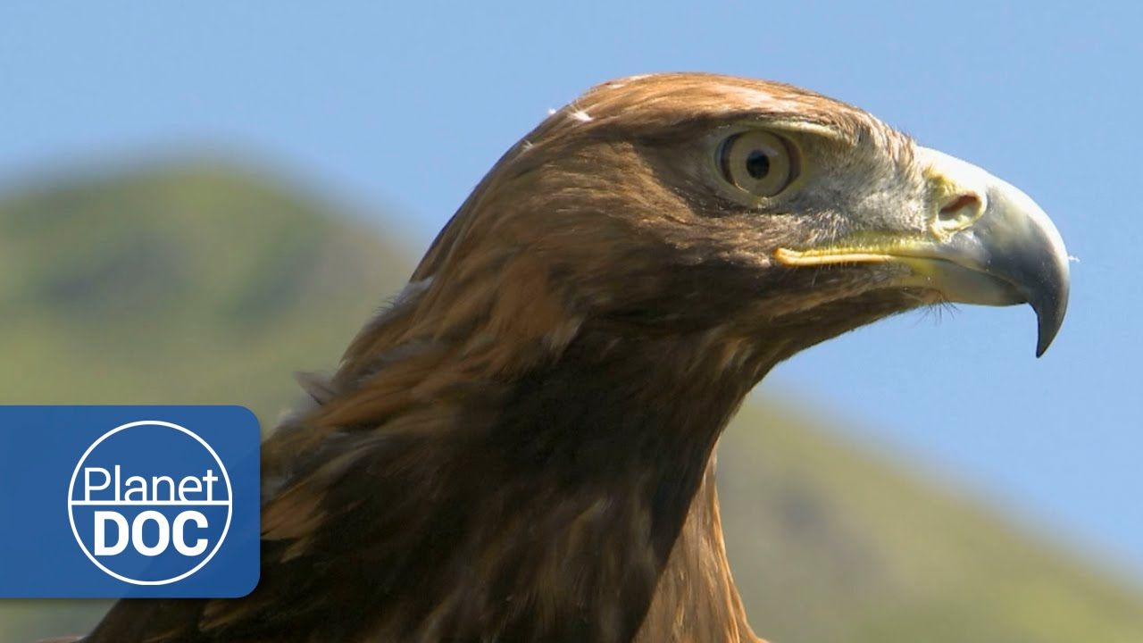 golden eagle hd documentary youtube
