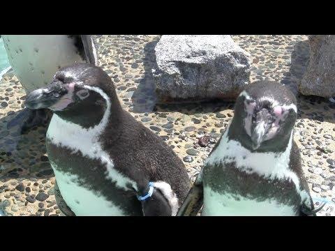 京都市動物園 泳ぐペンギン Kyoto City Zoo Swimming Penguin