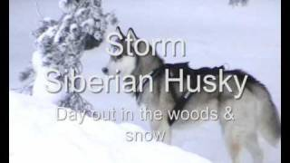 Siberian Husky - Storm: Frolic In The Snow! (tubewood.com)