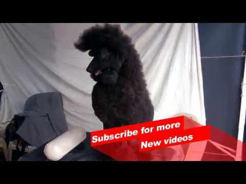 Wow ! Most Amazing dog breeds worldwide | poodle |