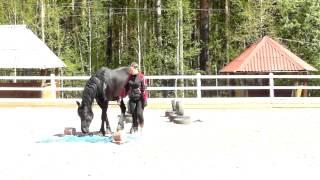 Умное животное - Фриз. Аврора - доверие  Видео с лошадьми фризской породы.