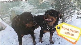 Rottweiler Rexi Ziyarete Gittik Mişayla Eşleşmesi Gerçekleşti