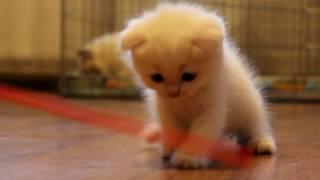 Белоснежная красавица. Кошечка шотландской породы.