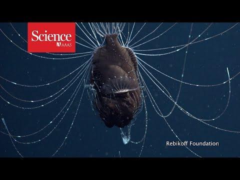 First footage of deep-sea anglerfish pair