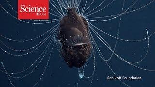 First footage of deep-sea anglerfish pair thumbnail