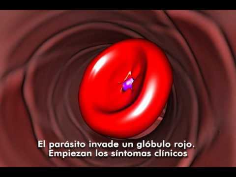 Ciclo de los Plasmodium Malaria