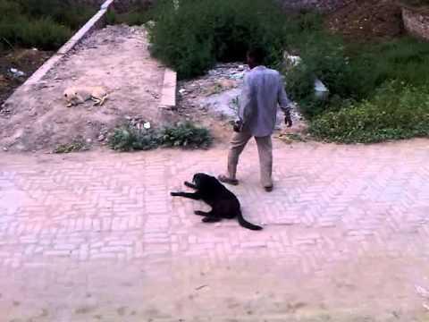 Funny punjabi baiaa talking with dogs