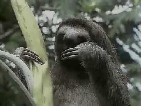 Three-toed sloth, the slowest mammal