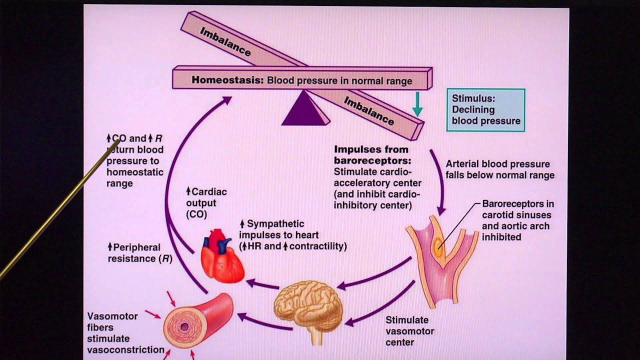 Regulation of Blood Pressure - YouTube