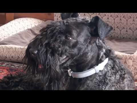 Kerry Blue Terrier(12 months): spring, country house, new haircut /: , ,