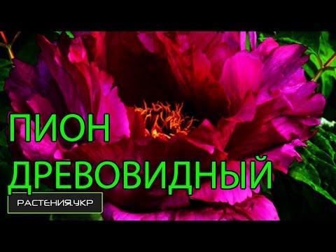 Древовидный Пион посадка и уход / Ботанический сад, Харьков