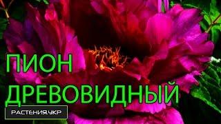 Древовидный Пион посадка и уход / Ботанический сад, Харьков(Ботанический сад Харьковского Национального Университета им. В. Н. Каразина: http://www.garden.kharkov.ua/ ..., 2016-05-20T16:08:51.000Z)