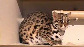 Esmond Gay - Pt. 1 of 2; Tour of Sarez Bengals Cattery & Animal Sanctuary - 14th December 2003