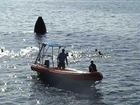 SchoenerTauchen: Buckelwale von Tonga (Naia) HQ
