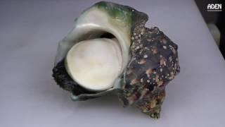[ Món ăn đường phố Nhật Bản ] - Ốc Biển Khổng lồ Yakogai