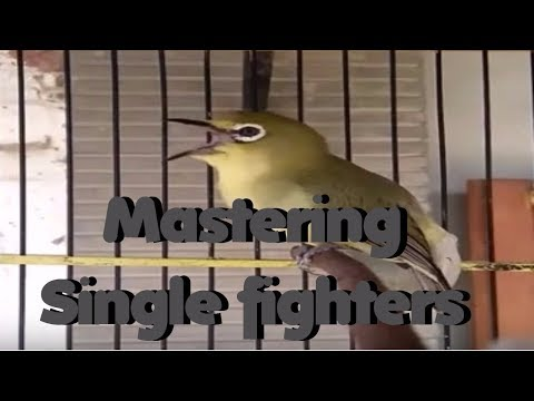 Mastering Single Fighters -  Pleci Ngotot Speed