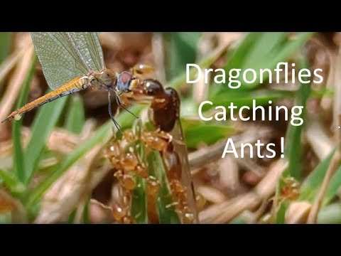 Dragonflies catching ants during their nuptial flight