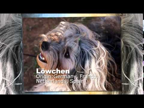 Lowchen Dog Breed
