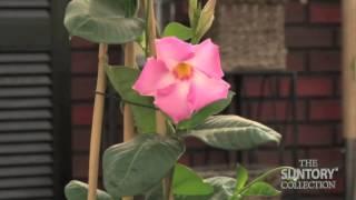 Video Caring for Sun Parasol Mandevilla Indoors in the Winter download MP3, 3GP, MP4, WEBM, AVI, FLV Juni 2018
