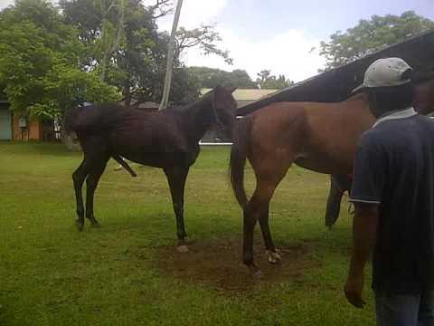 mengawinkan kuda