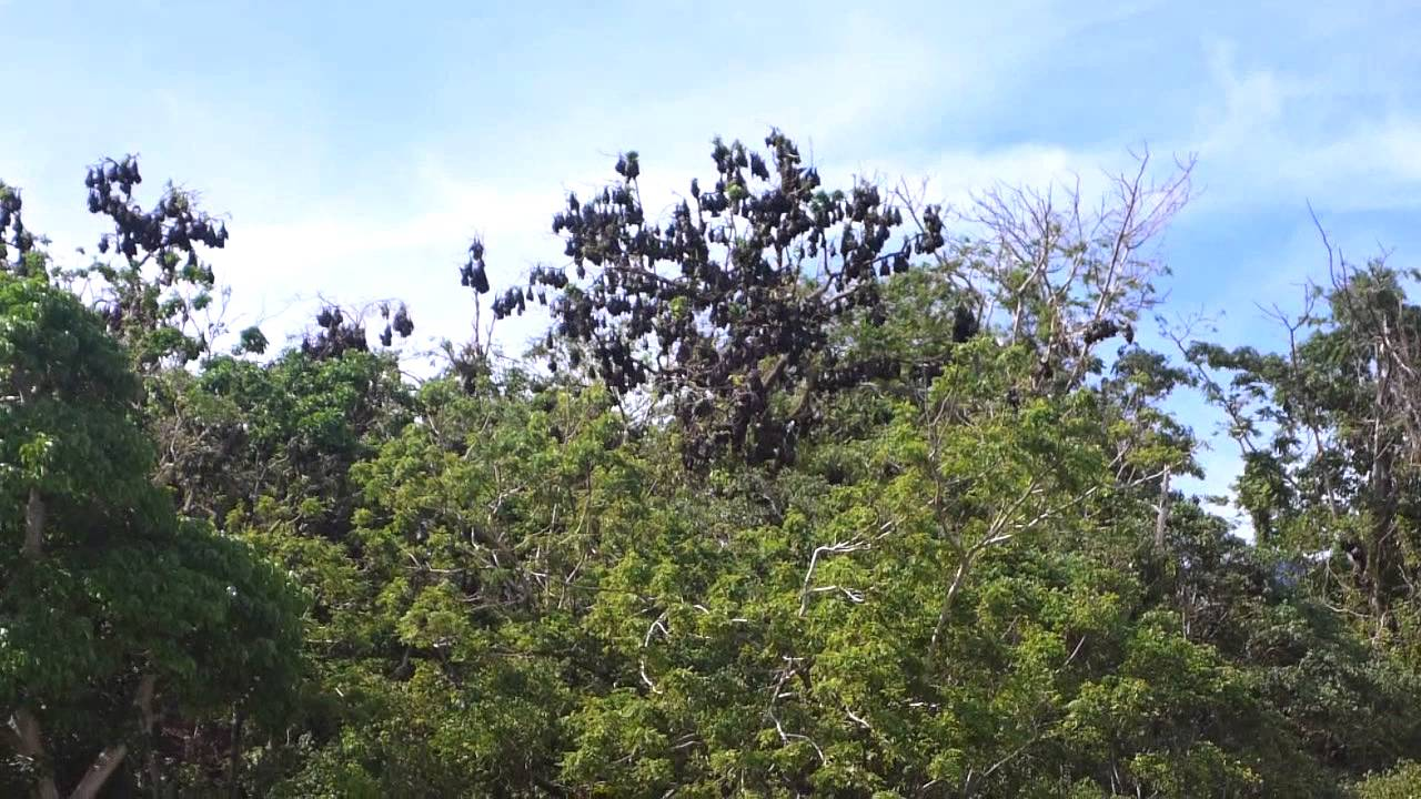 large fruit bats that looks like leaves on trees nognog in the