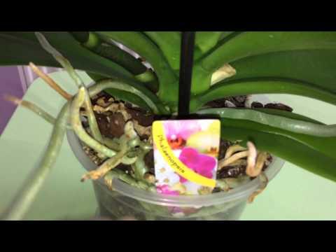 Королевская орхидея фаленопсис