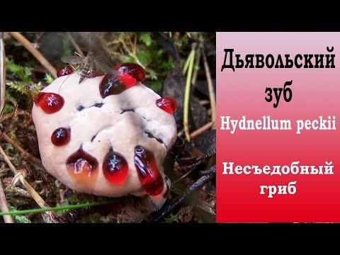 Дьявольский зуб - Hydnellum peckii . Несъедобный гриб