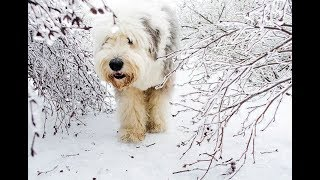 Old English Sheepdog  Amazing Year of Love and Partying!