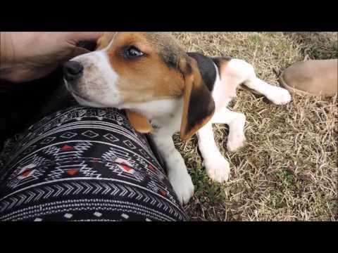 Top Super Cute Beagle Adorable Dog - hqdefault  2018_738082  .jpg