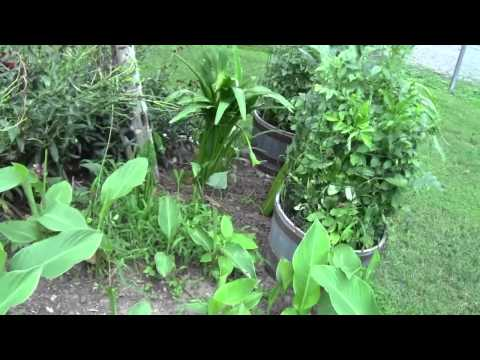 INVASIVE PLANTS TRUMPET VINES