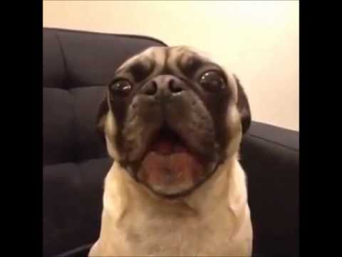 pug says i love you talking pug dog says i love you youtube 2782