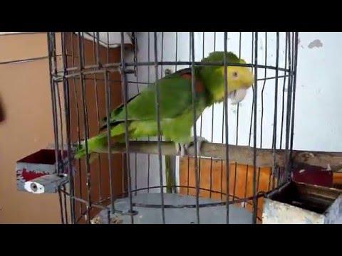 "Parrot Rodrigo singing ""Las Mañanitas"", a traditional Mexican birthday song"