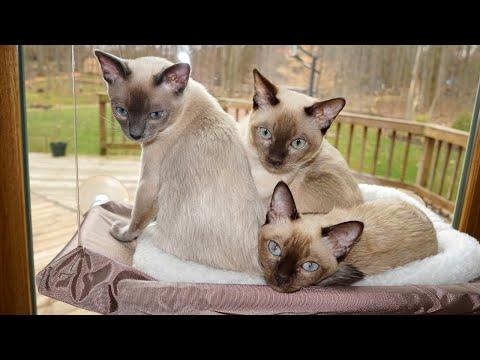 Tonkinese Kittens Playing