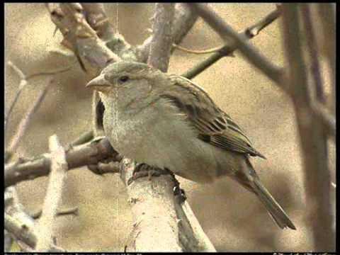 JAIRO  -  Tristeza de gorrión