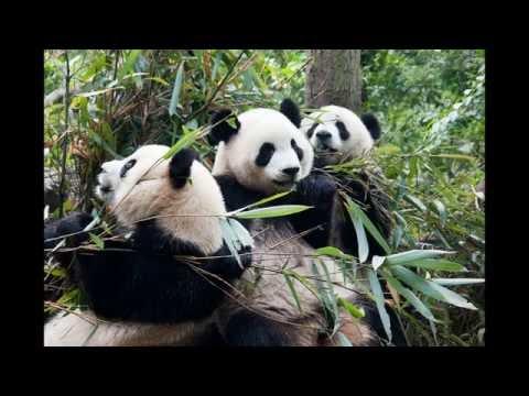 Giant Panda Breeding Research Base - giant panda in china - NPR - China tour