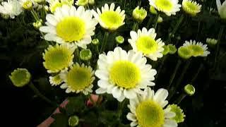 Выращивание хризантемы. Обзор на 1 сентября.