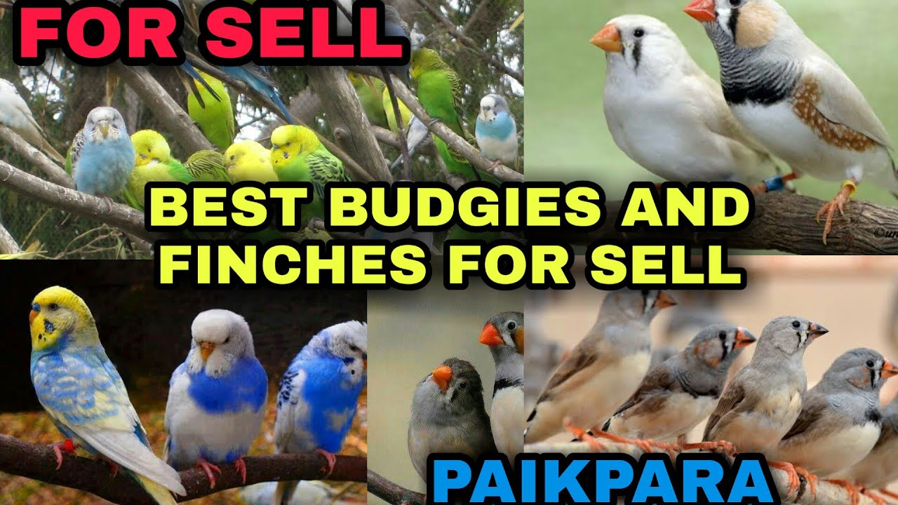 HIGH QUALITY BUDGIES AND FINCHES FOR SELL।। LOCATION PAIKPARA ।।BISWAS BIRDS