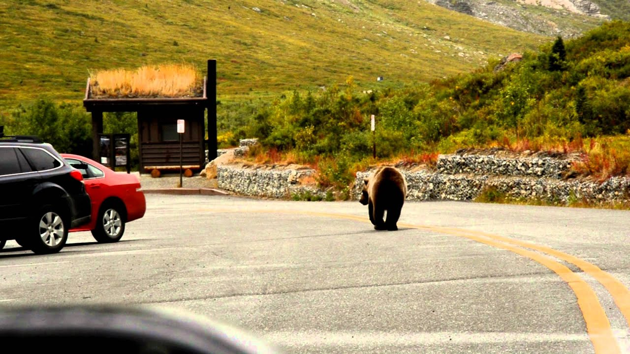 A Grizzly Bear in Denali National Park, Alaska - YouTube