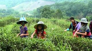 Tea Picking Golden Triangle Thailand