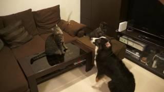 うめくんとウルスくんの兄弟猫の遊びに邪魔するオーストラリアンシェパ...