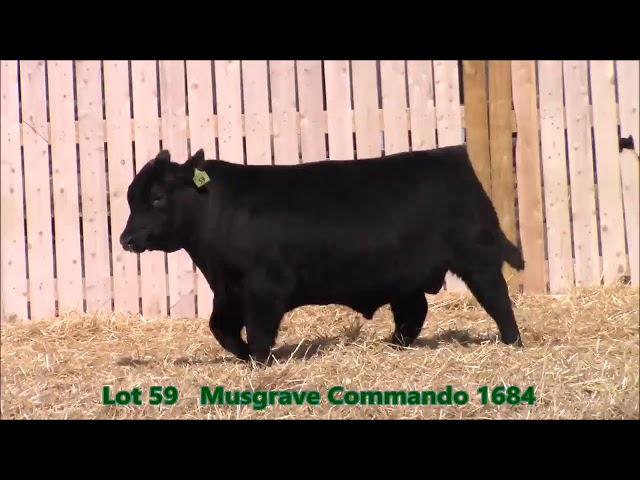 Musgrave Angus Lot 59