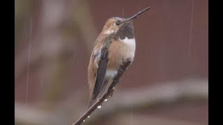 Male Allens Hummingbird in Heavy Rain 4K Demo Reel V24357