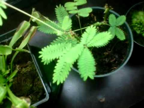 Sundew drosera binata doovi for Plante carnivore 01