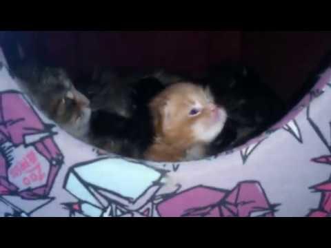 Котята мейн-кун. Монопородный питомник кошек-рысей islandcat.