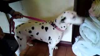 Dalmatian dog and girl reunited