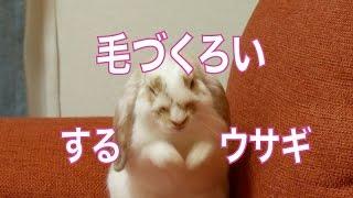 毛づくろいするウサギ ホーランドロップイヤーの赤ちゃん