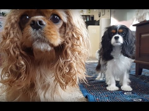 Cavalier King Charles Spaniel  - 3/3 Favorite game of fetch