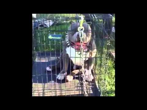 Blue pitbull breeders in Southern California pitbull puppy